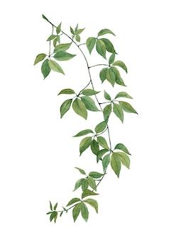 녹색 잎 liana 지점 흰색 바탕에 수채화 클립 아트를 그린