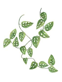 白に描かれた緑の葉の水彩画とリアナの枝