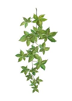 잎 liana 지점 흰색 바탕에 수채화를 그린