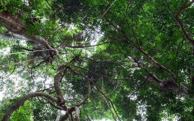 リャナスはタイのプーケットで熱帯雨林のキャノピーからぶら下がって日光を浴びています。