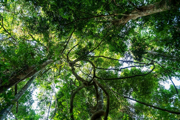 Lianas dangling and sunlight from the rainforest canopy in phuket thailand.