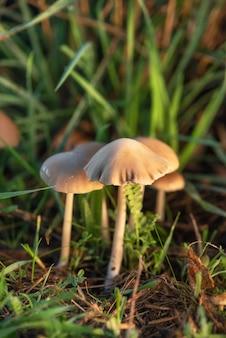 Галлюциногенные грибы liberty cap или полуланцет psilocybe в зеленой траве