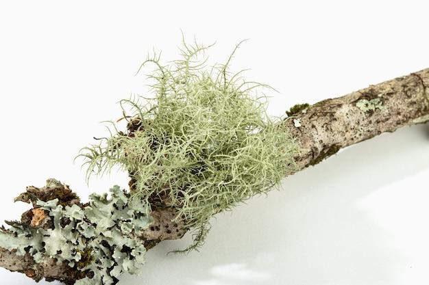 Лишайник на ветке дерева, изолированные на белом фоне