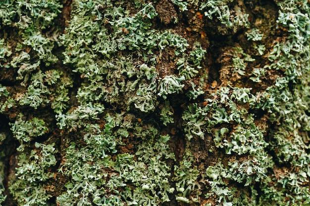 Лишайник на дереве крупным планом