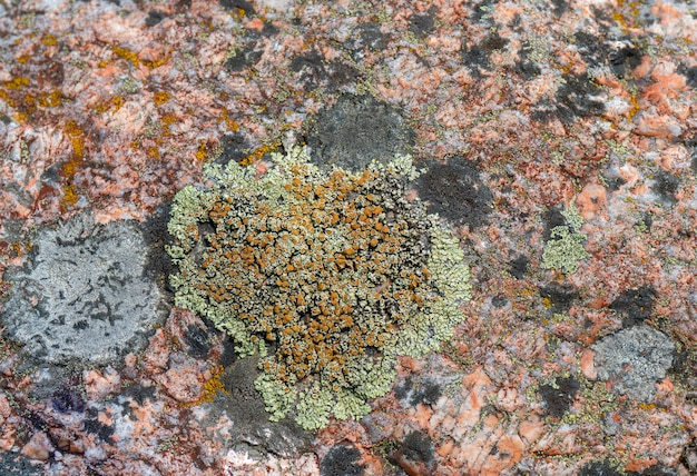 Lichen on the surface of granite. northern nature.