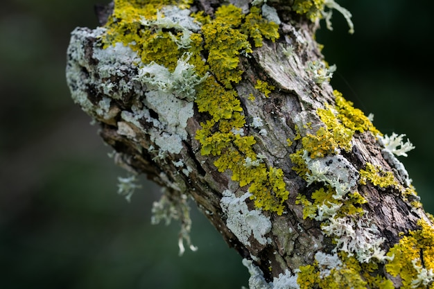 Lichens and moss growing on the trunk of a tree in the maltese countryside.