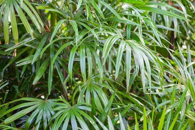 Licuala paludosa griff tree
