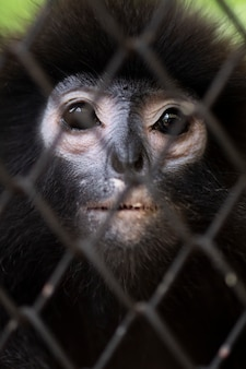 Life in cage concept. sad dusky leaf monkey in zoo