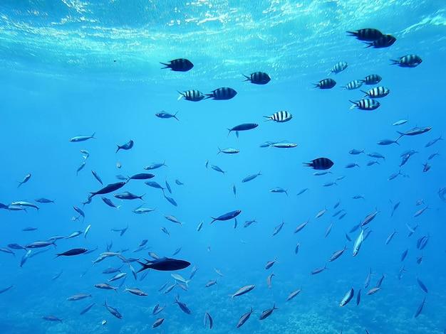 Жизнь в океане. тропическая полосатая рыба движется над коралловым рифом под водой