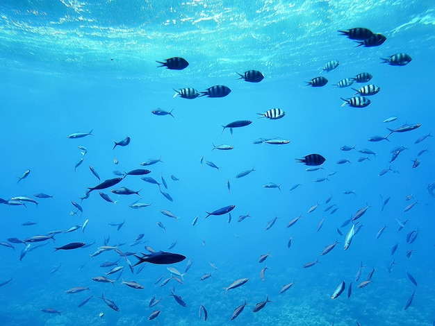 Life in the ocean. tropical striped fish moving above coral reef underwater