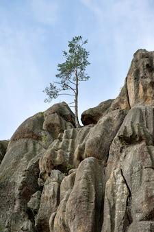 岩の間の木々の生活。岩の間で成長している孤独な松。