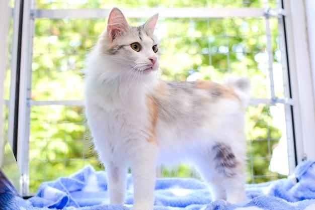 明るく美しいふわふわの猫、白い茶色と灰色の斑点、窓辺に立っています。