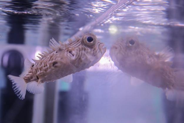Светло-бежевая рыбка с шипами и большими глазами плавает возле стеклянного аквариума