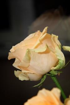 Light beige rose