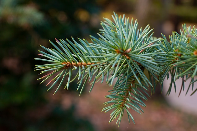 Светло-голубые зелено-голубые объемные иголки на ветвях хвойной сосны сибирской крупным планом