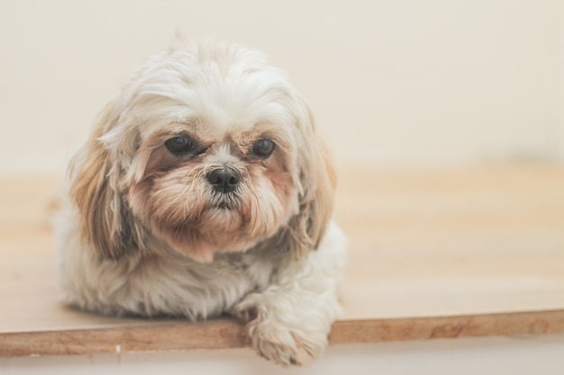 Light brown dog of mal-shih breed in front of a white wall