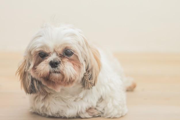 Cane marrone chiaro di razza mal-shih davanti a un muro bianco