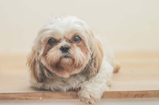 Light brown dog of mal-shih breed on white wall