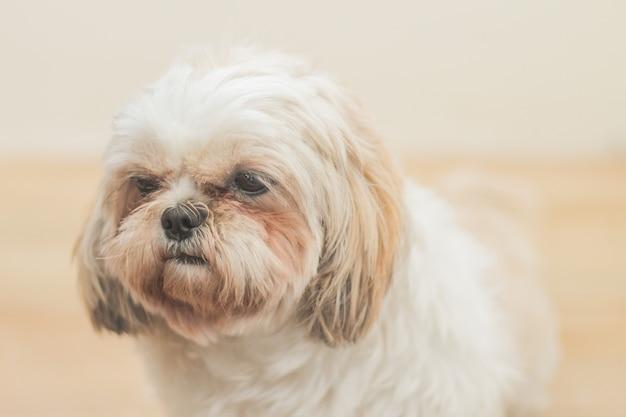 白い壁の前で繁殖するマルシーの薄茶色の犬