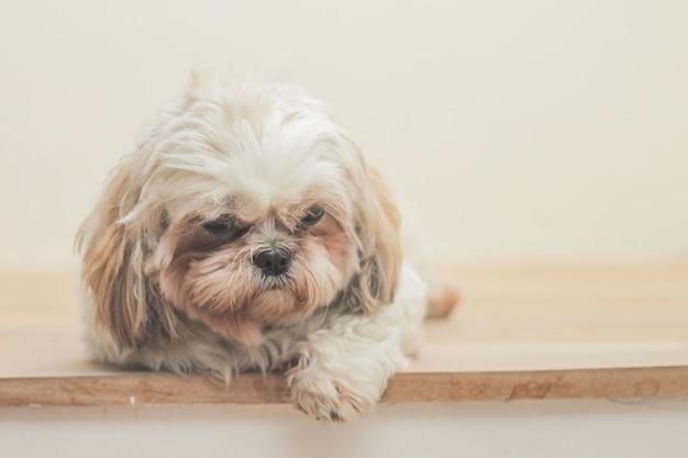 흰 벽 앞에서 말시 품종의 밝은 갈색 개