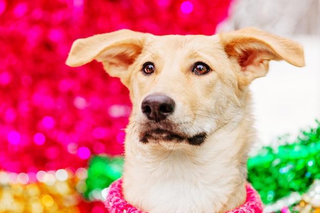 Светло-коричневая собака сидит на розовом фоне декоративных