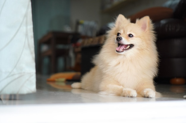 Light brown pomeranian dog is looking to something
