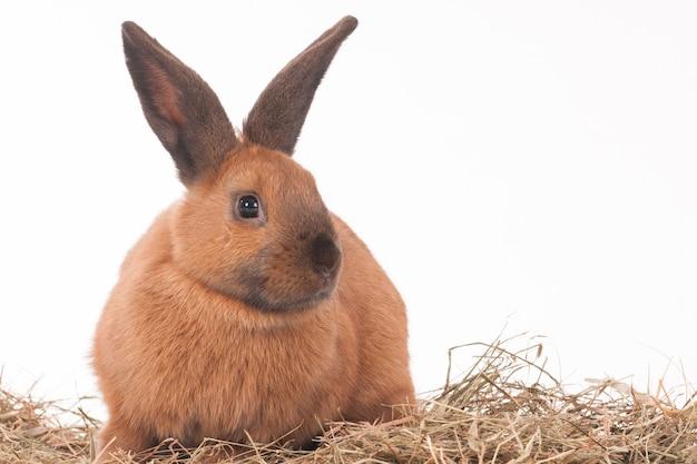 Светло-коричневый кролик с сеном на белой стене