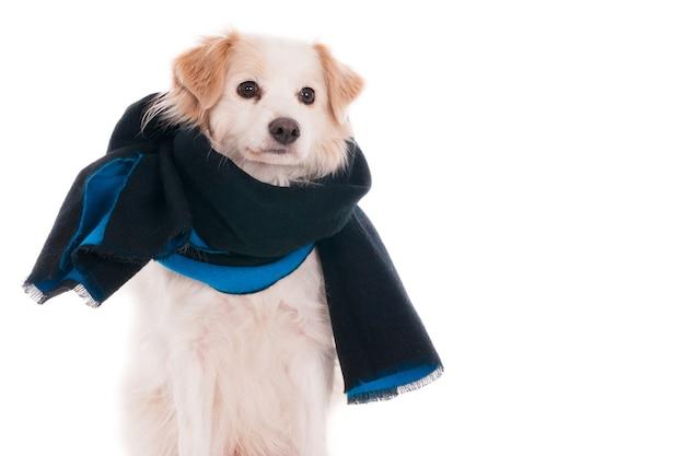 Светлый помесь собаки с синим шарфом на белом