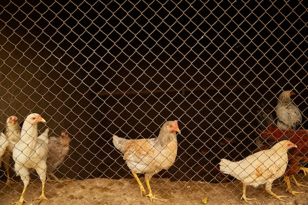 Light-colored hens in a chicken coop behind bars.