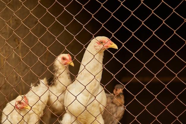 バーの後ろの鶏小屋の明るい色の鶏。