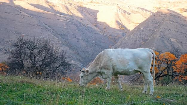 Легкая корова пасется на фоне гор в осенний день.