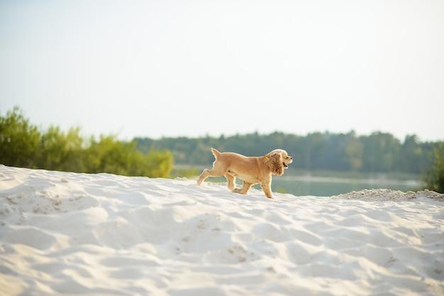 Light dog breed cocker spaniel runs on white sand near the lake.