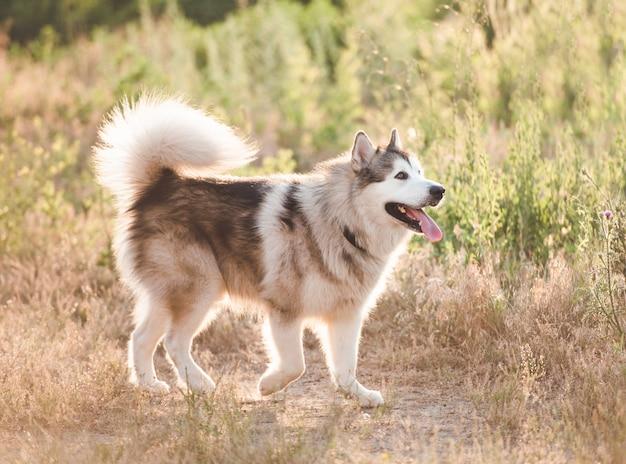 Light gray and white alaskan malamute