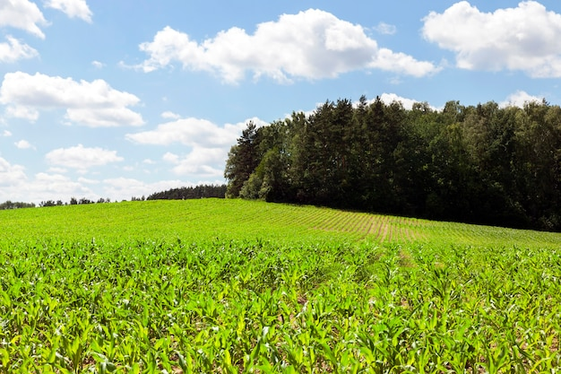 Light green corn in the spring. in the background a green forest and a blue sky. beautiful spring landscape