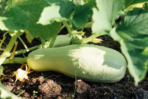 薄緑色の骨髄、ズッキーニ、ズッキーニ、庭のスカッシュ