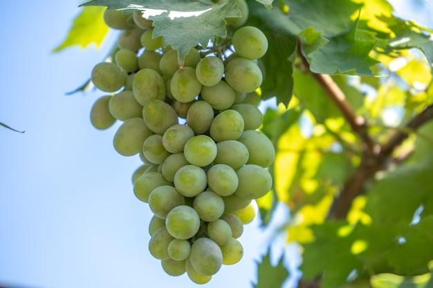 茂みの上の薄緑のワイン用ブドウ