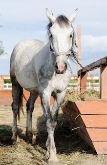 Light grey horse feeding near hitching post in the farm yard.