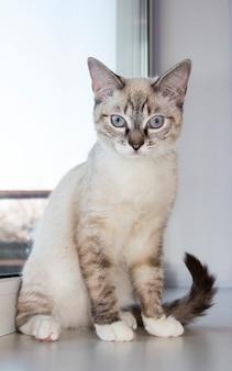 Светлый котенок сидит на подоконнике. белые кошки сидят на подоконнике и смотрят в окно с утренним светом, кошка смотрит в окно в солнечный день