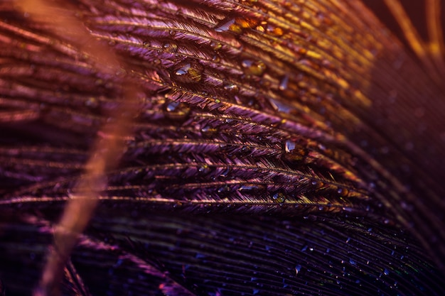 Light on peacock feather with water drop