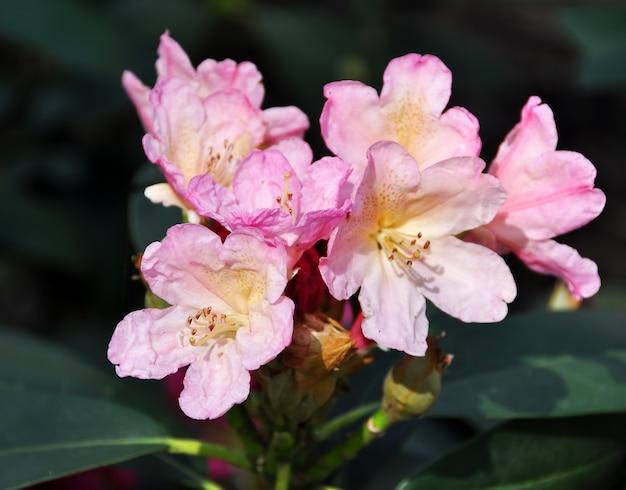 緑の葉で満開の淡いピンクのツツジの花