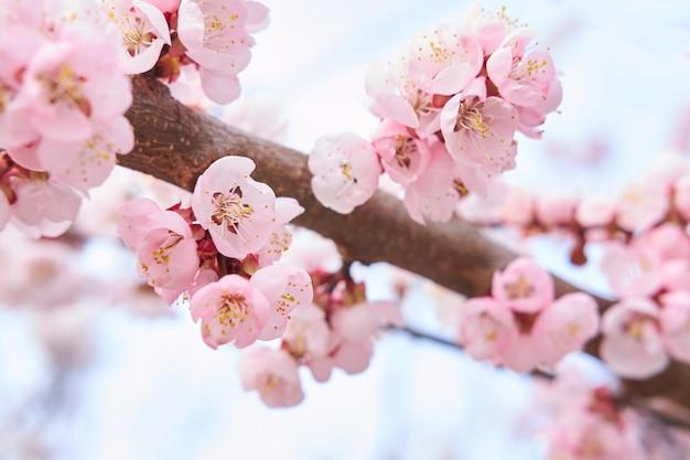 春の空の背景に桜の淡いピンクの美しい咲く木。春のコンセプトです。