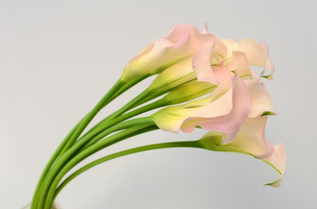 Light pink calla lily flower on a white isolated background