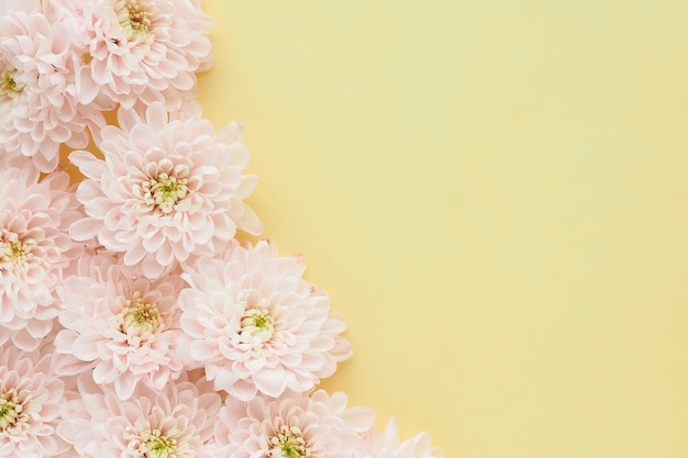黄色の背景に黄緑色の中心を持つ淡いピンクの菊の花。