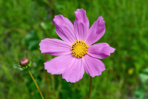 牧草地の淡いピンクのコスメヤの花をクローズアップ