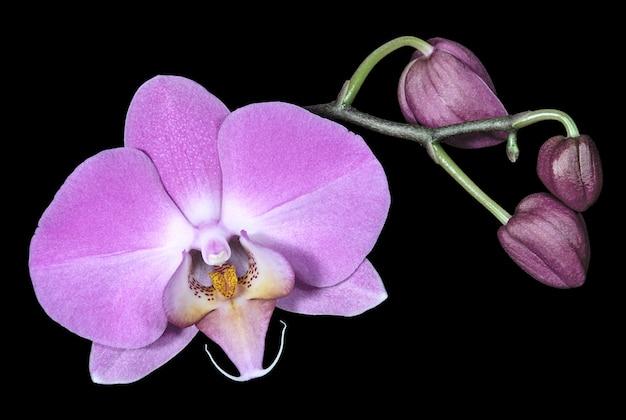 若い芽を持つ淡いピンクの蘭の花がクローズアップ