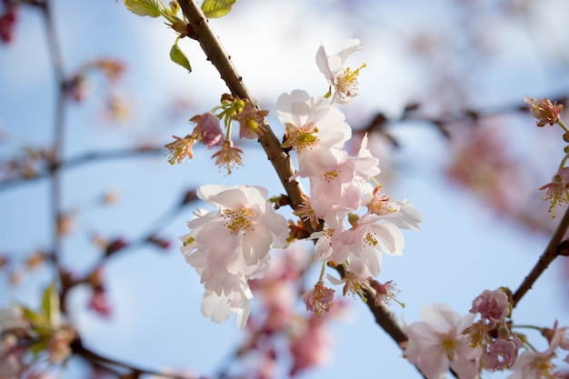 Светло-розовая ветка сакуры на голубом небе