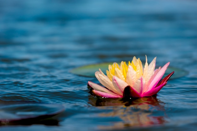 Light pink of water lily or lotus with yellow pollen on surface of water in pond.