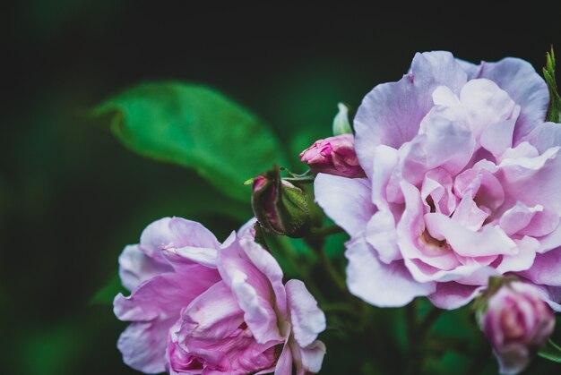 Светло-фиолетовые цветы парка rugosa rose крупным планом