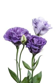 白い背景の上の紫のトルコギキョウの花