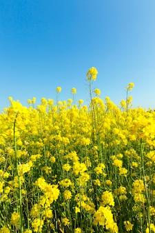 Светло-желтое поле рапса во время цветения, ясная солнечная весенняя погода в сельскохозяйственных угодьях